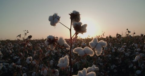 close-up of the highest quality cotton is ready to harvest field