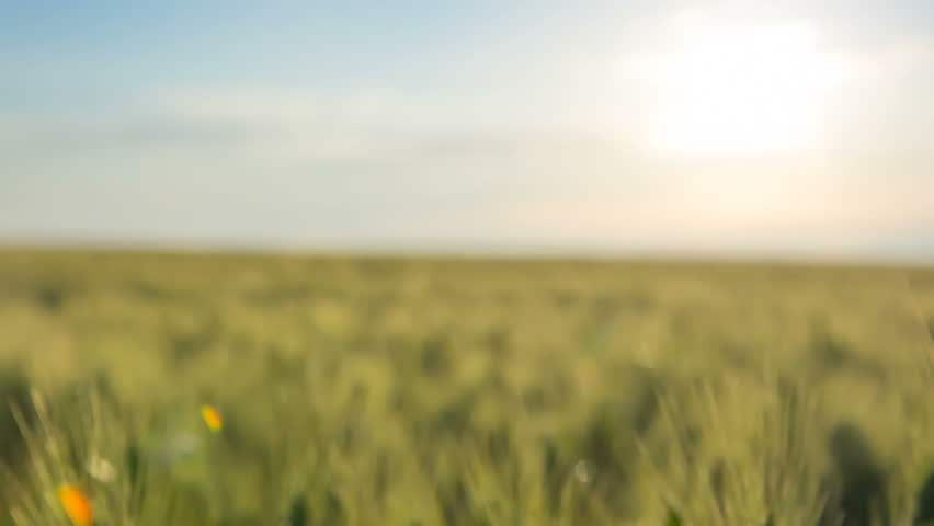 The ears of green wheat in the east sun. Close-up. RAW video record. | Shutterstock HD Video #31095031