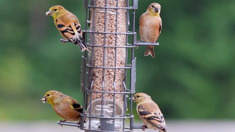 Four American Goldfinches (Spinus tristis) in their non-breeding coloration eating hull-less sunflower seeds from a backyard bird feeder.