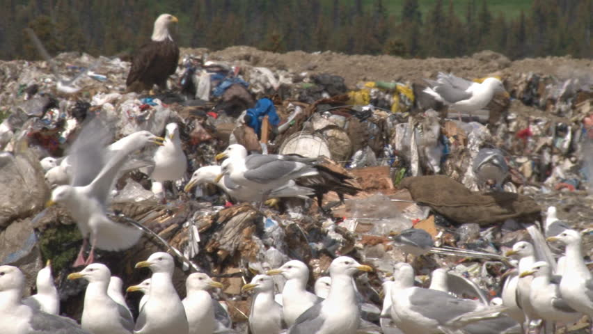 A bald eagle with a bunch of gulls scavenge tidbits from bales of trash