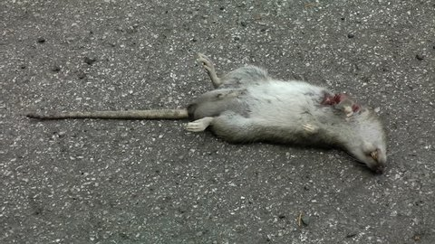 Dead Rat on it's back stock footage. A dead Rat laying on it's back on the roadside.