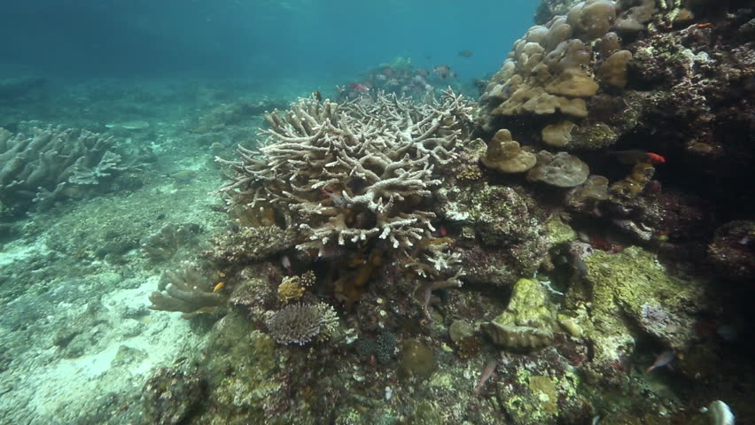 Header of Acropora cervicornis