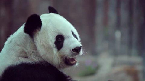 Panda sitting in the garden,Chiangmai zoo