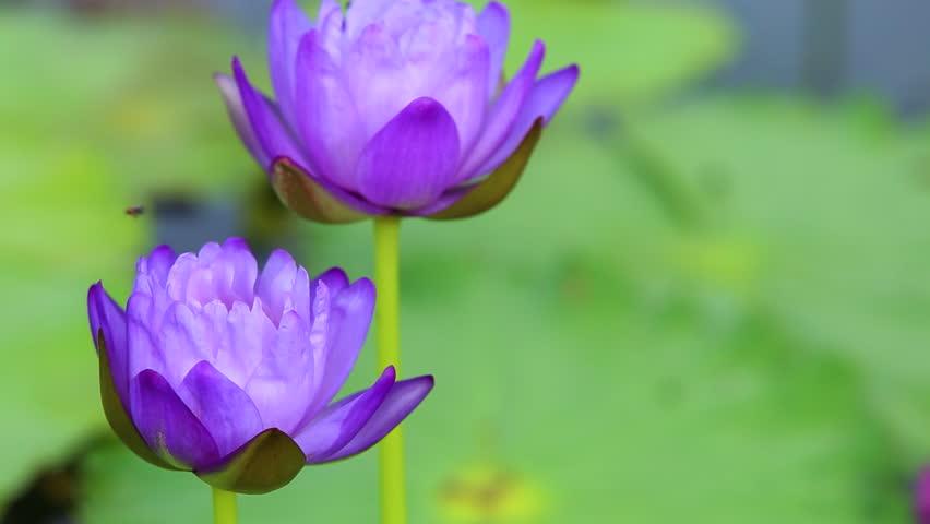 Beautiful Blue Lotus Flowers. Lotuss Stock Footage Video (100%  Royalty,free) 31227001