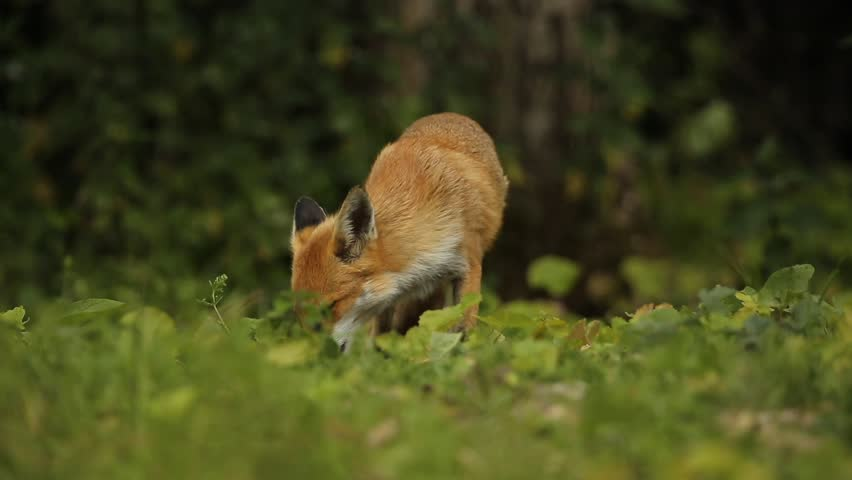 Wild Red Fox (Vulpes vulpes) feeding in a field at the edge of a wood.