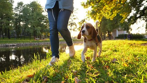 Cute young beagle dog walk after owner legs in park, beautiful sunny evening time, slow motion dolly shot. Long ears and tail in air, happy two stroll along grassy shore