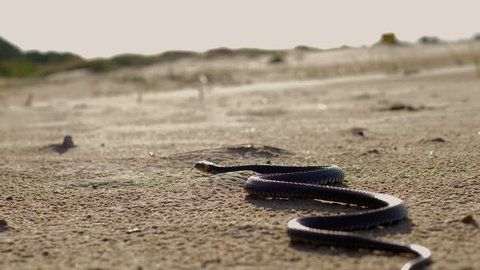 Beautiful grass snake on a beach