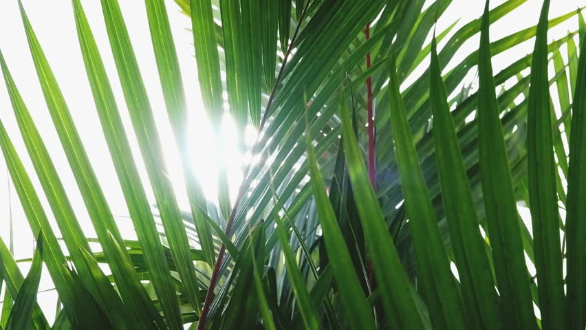 Natural background, tropical palm leaves blowing by wind with sunlight through green leaf