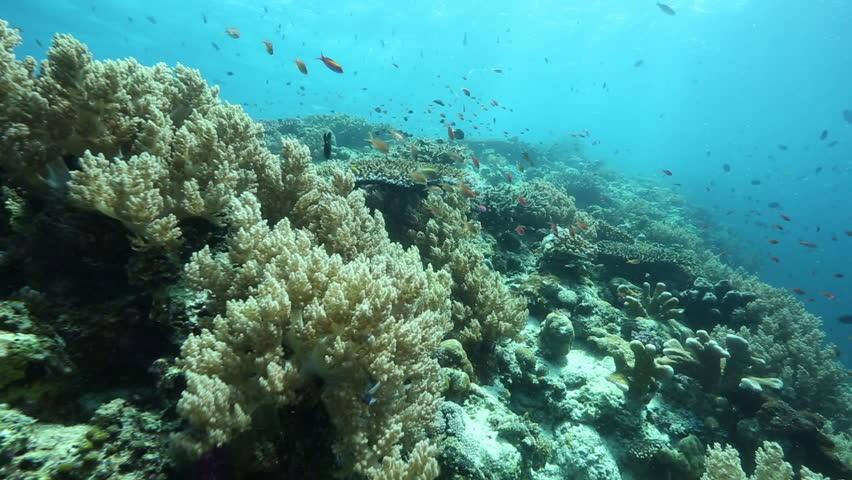 Coral reef biodiversity at Kakaban Island, Kalimantan #31315141
