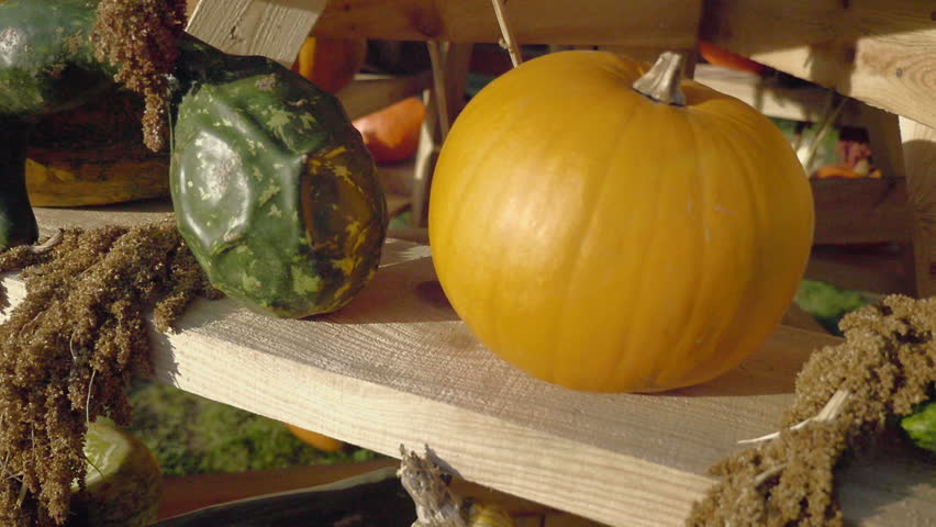 Pumpkin harvesting. Halloween pumpkins. Orange vegetable for pumpkin soup and other squash products. Autumn rural rustic background with vegetable marrow. Various types and shapes of gourds.