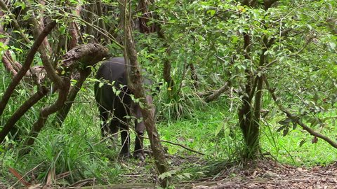 CIRCA 2010s - Central America - A tapir walks through a forested region.