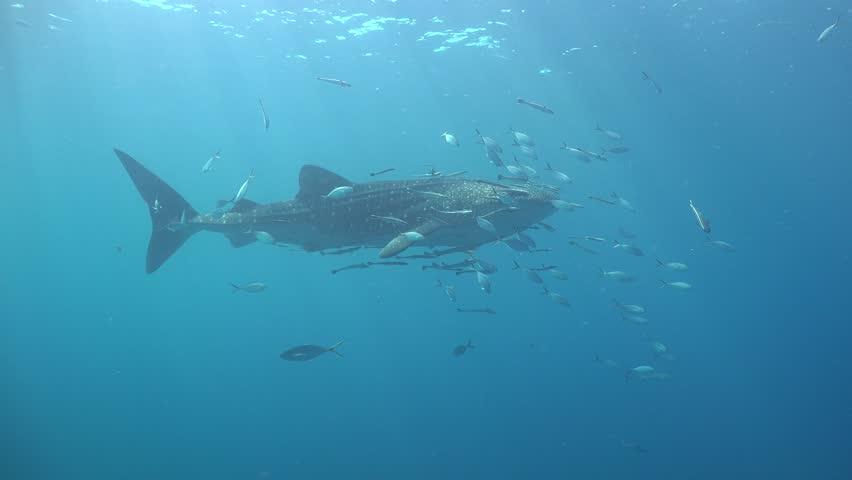 Whale Shark regurgitates food pieces. Remora around her pounces on food. Shark passes very close to the camera Sail Rock / Koh Phangan / Thailand