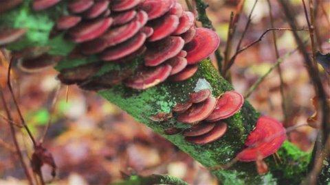 Brown mushrooms in forest. Wild mushroom growing on driftwood, Reishi mushroon in nature