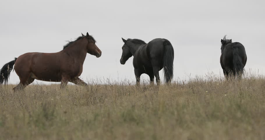 Wild brown horses on the field running gallop #31474771