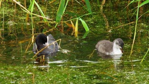 Eurasian coot, Fulica atra, feeding chick on the pond
