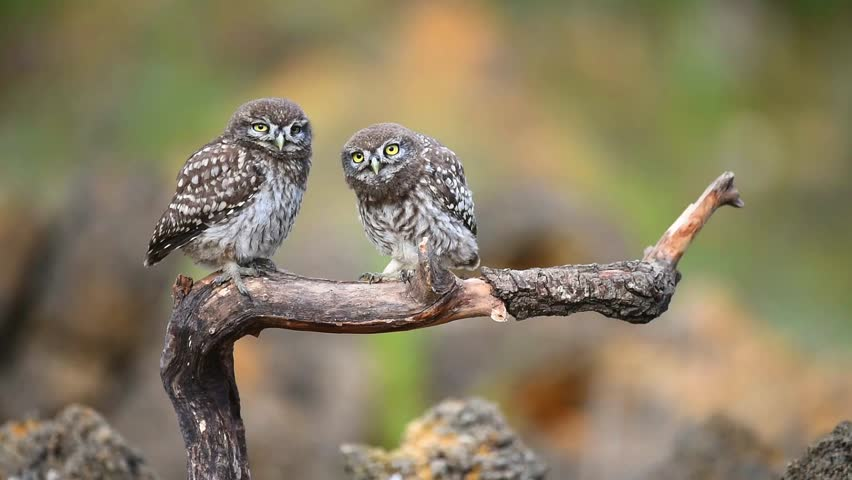 Two little owls on a stick