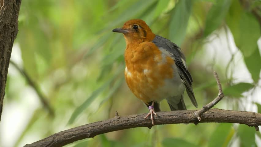 Orange headed thrush (Geokichla citrina)  | Shutterstock HD Video #31596721