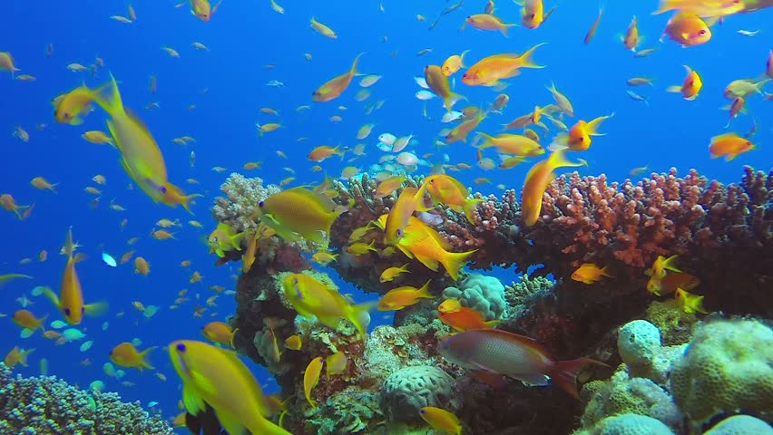 Underwater Beauty Colorful Fishes. Picture of amazing underwater colorful fishes and beautiful soft and hard corals in the tropical reef of the Red Sea, Dahab, Egypt.