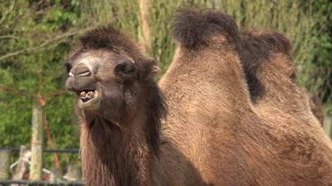 Portrait of bactrian camel (Camelus bactrianus) ruminating