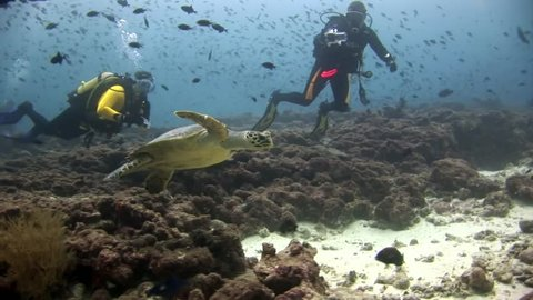 Green sea turtle and divers on clean clear seabed underwater in Maldives.Beautiful marine background. Swimming in world of colorful wildlife of corals reefs. Abyssal relax diving.