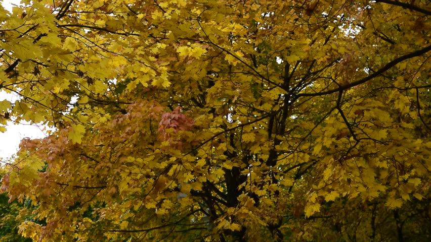 Beautiful autumn trees. Seasonal footage. | Shutterstock HD Video #31838281
