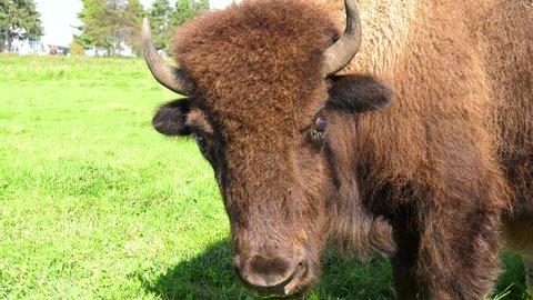 buffalo looks at camera