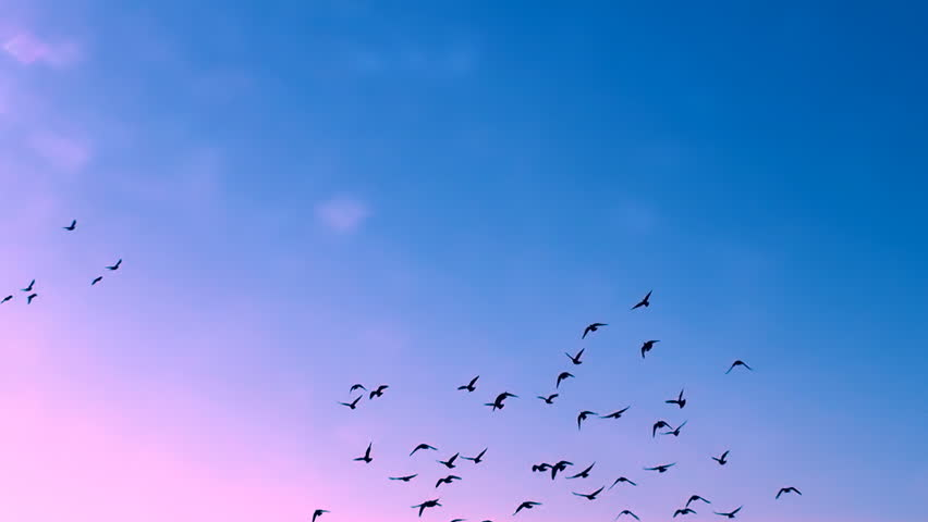 This is a beautiful natural video of Flying Flock Of Birds (Doves) In Magical Blue Sunset Sky...You can use this slow motion video in your original projects or as websites background…Enjoy! | Shutterstock HD Video #3200485