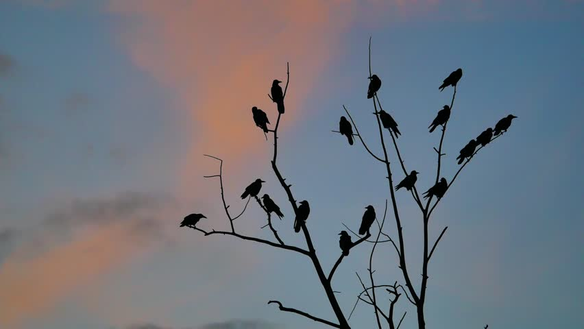 Flock of birds autumn taking off from a tree, a flock of crows black bird dry tree. birds ravens in the sky sunset orange silhouette | Shutterstock HD Video #32023501