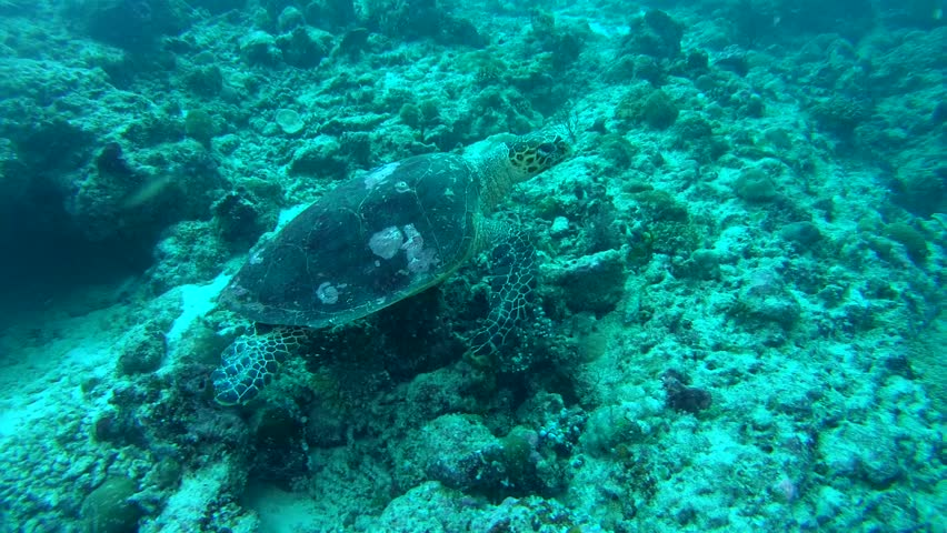 Sea Turtle swim on a coral reef background - Indian Ocean, Maldives #32034931