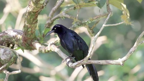 Great-tailed Grackle perched on a tree branch puffing up and singing with a loud voice.