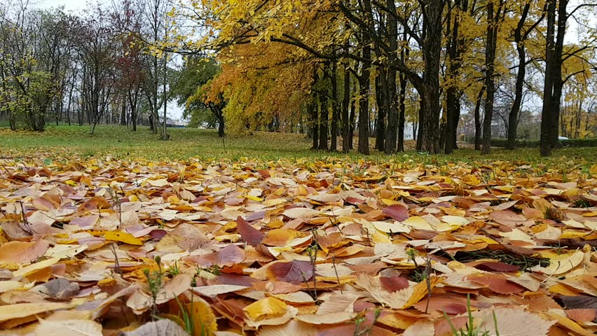 Glade in autumn Park covered with fallen yellow leaves. Autumn landscape with deciduous trees along road in Krasnoye Selo, Saint Petersburg, Russia. Timelapse video of late Russian autumn