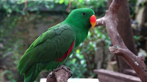 Beautiful bird. The eclectus parrot (Eclectus roratus). The male having a mostly bright emerald green plumage and the female a mostly bright red and purple/blue plumage