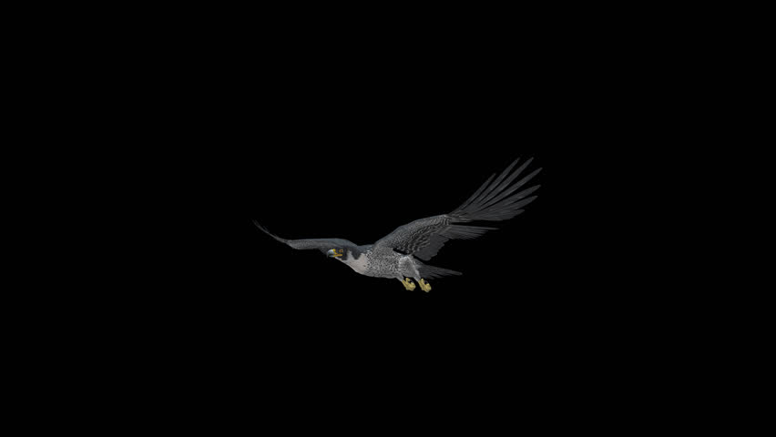 Peregrine Falcon - II - Gliding and Flapping Loop - Side Angle Closeup - 4K UHD resizable realistic cinematic 3D animation of flying bird of prey with alpha channel isolated on transparent background.