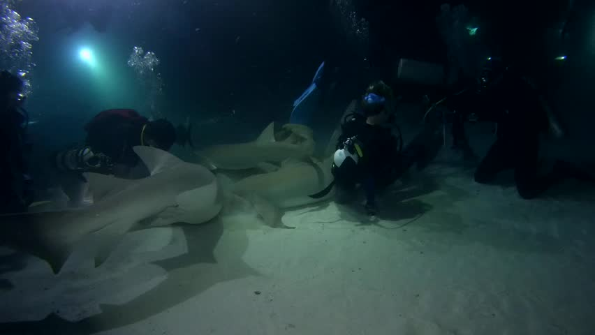 indian ocean maldives september 2017 scuba divers looks on the tawny nurse sharks - Chinese New Year 1964