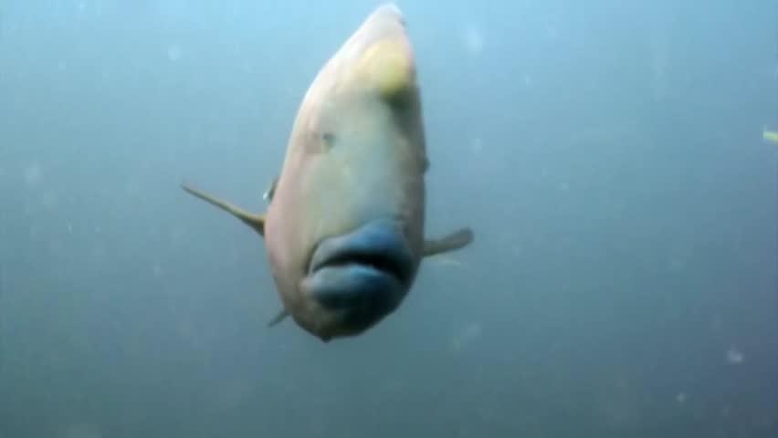 Napoleon fish wrasse underwater natural aquarium of sea and ocean in Maldives. Beautiful animals.