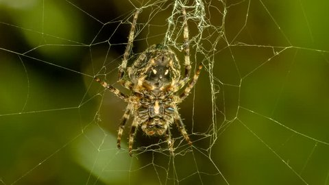 HD 1080p extreme close up video of a spider weaving a web/Spider weaving a web