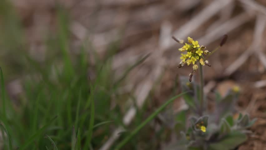 Header of draba nemorosa