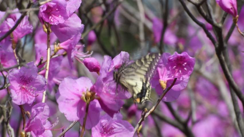 The yellow swallowtail butterfly(Papilio xuthus, Linnaeus) sucks the nectar from the azalea flowers(Rhododendron mucronulatum Turcz) (CLOSEUP)