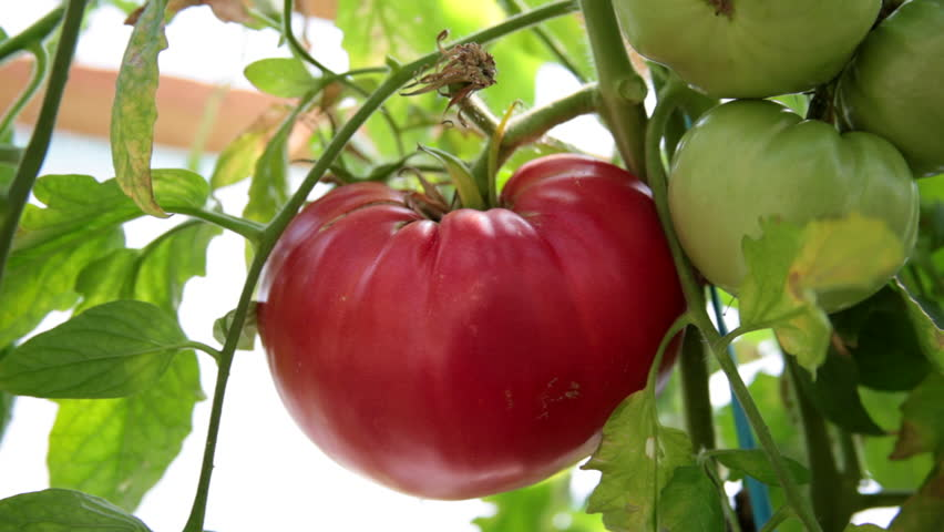 anthesis in tomato Anthesis definition  relation of temperature to anthesis and blossom drop of the tomato together with a histological study of the pistils.