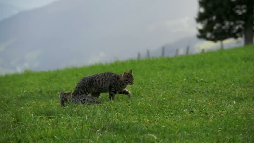 Two Little Playful Gray Cats Play and Run on a Green Grass in the Mountains of Austria. Slow Motion in 96 fps. Kittens on a beautiful clipped lawn on a hill.