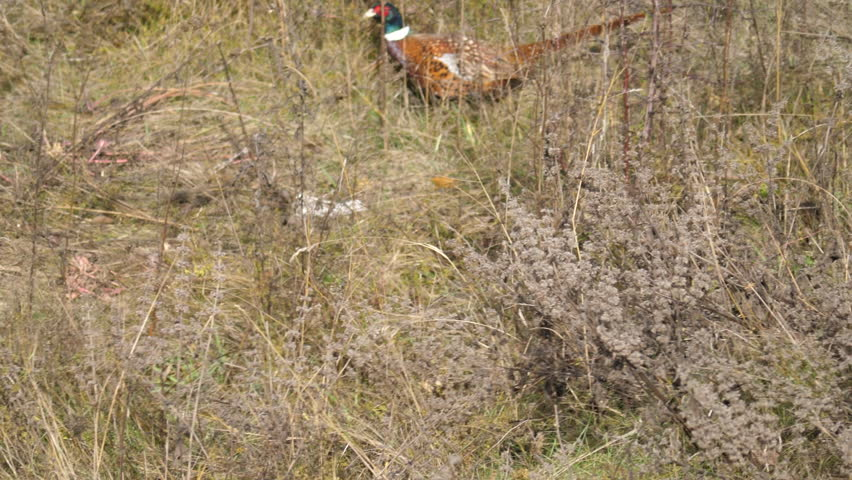 Header of ring-necked pheasant