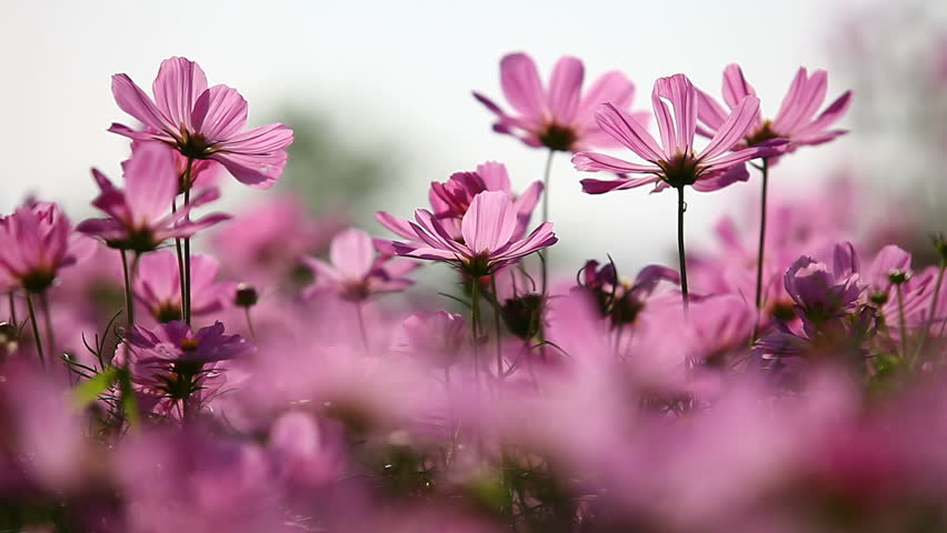Flower free video clips 283 free downloads field of pink flowers mightylinksfo