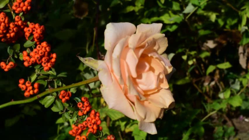 Beautiful rose in my garden | Shutterstock HD Video #32291602