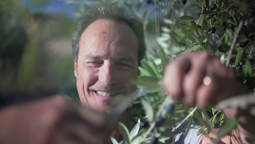 Amazing close up of happy handsome farmer picking Mediterranean olives from an olive tree in a sunny ranch olive grove in Italy, to produce a perfect tasty special extra virgin olive oil.  #32295991