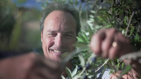 Amazing close up of happy handsome farmer picking Mediterranean olives from an olive tree in a sunny ranch olive grove in Italy, to produce a perfect tasty special extra virgin olive oil.