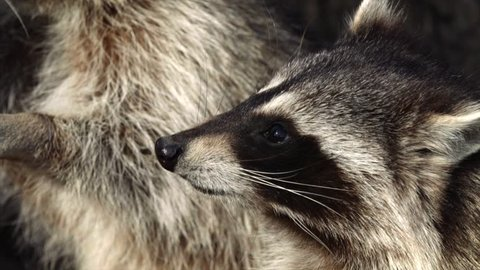 Close portrait of Cute North American racoons taking nuts from zookeeper