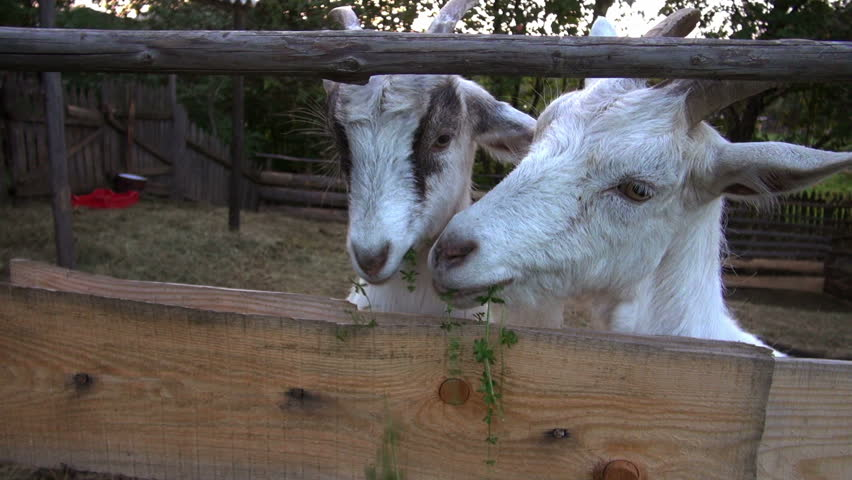 goat farming. feed the goats greens.