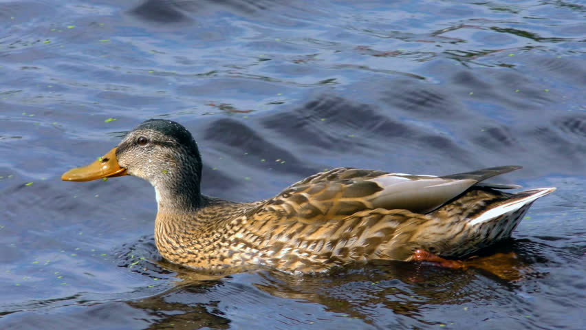 Wild Beautiful Duck Floats On Stock Footage Video 100 Royalty