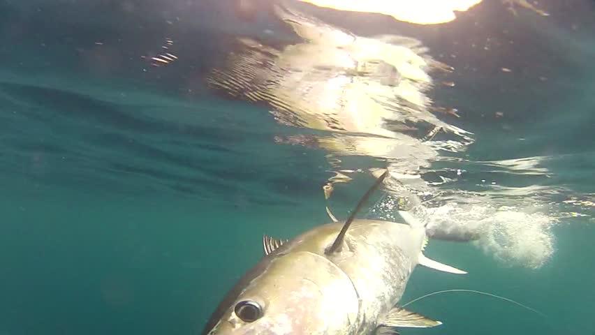 bluefin tuna big game fishing