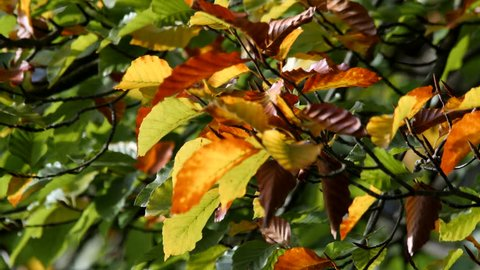 Colorful beech leaves in the beginning of autumn / fall  - wood - UHD stock video